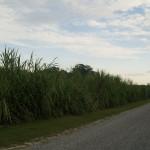 Zuckerrohr wächst überall